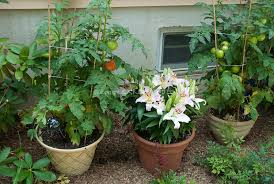 container garden vegetables. Container Garden With Tomato Vegetables, Lilies Lilium Flowers Next To House Vegetables
