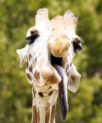 Image of: Neck Animals With Down Syndrome Giraffe All Thats Interesting Animals With Down Syndrome Debunking This Mistaken Trend