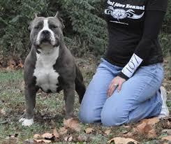 extreme exotic american bully pitbull