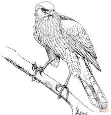 Kleurplaat Havik Northerngoshawk Animals Coloring Pages Coloring
