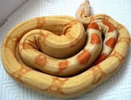 albino kahl strain selective bred