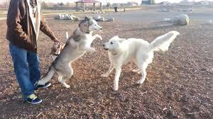 white husky wolf mix. Beautiful Wolf Intended White Husky Wolf Mix D