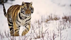 siberian tiger wallpaper desktop. Perfect Desktop Siberian Tiger Wallpaper Desktop  Photo19 Intended Tiger Wallpaper Desktop S