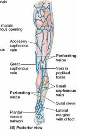 Anatomy Thigh And Gluteal Region Biology Flashcards