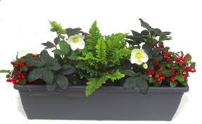 Bepflanzter Balkonkasten 60 Cm Wintergr N Mit Christrosen Im