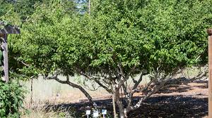 High Density Planting And Pruning Fruit Trees For The Home