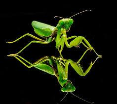 Resultado de imagen para mantis religiosa