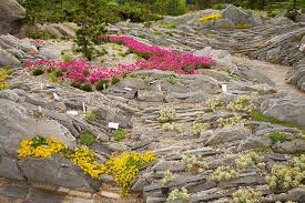 cultivating alpine plants for rock