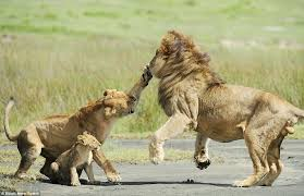 lioness and cubs quotes. Plain And Ouch The Lion Recoils As It Is Made Painfully Aware To Him Just How Far With Lioness And Cubs Quotes 7