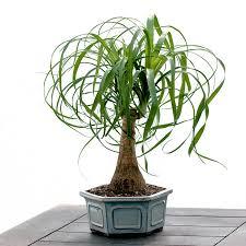 office pot plants. Ponytail Plant In Bonsai Pot Office Plants