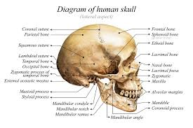 Details About Human Skull Diagram Anatomy Educational Chart Poster 18x12 Inch