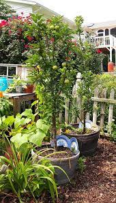 potted trees growing apple trees