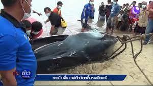 ปลาวาฬตายเกยตื้นอ่าวปัตตานี - YouTube