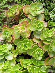 if you want a plant it and forget it perennial for your rock garden you can t go wrong with sedums these tough as nails plants come in a wide variety of
