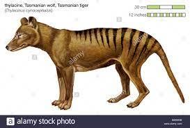 La Tigre della Tasmania era un carnivoro marsupiale trovano in Australia e  in Nuova Guinea fino alla sua estinzione nel 1930s Foto stock - Alamy