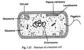 cell bacteria diagram cell database wiring diagram images bacteria cell meaning and structure diagram