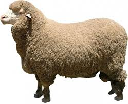 Image result for merino sheep