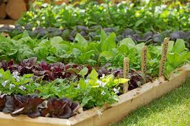 Small Picture Growing vegetables in school gardens RHS Campaign for School
