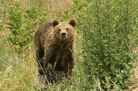 Κοζάνη: Αρκούδα κάνει τη βόλτα της ανάμεσα στα σπίτια