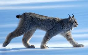 lynx size 15 reasons the canada lynx is such an amazing animal cottage life