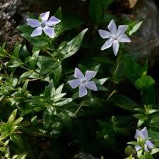 Vinca difformis | Online Atlas of the British and Irish Flora