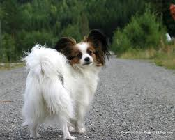they are distinguished from other breeds by their beautiful erfly like ears papillons need daily walk play will take care of a lot of their exercise