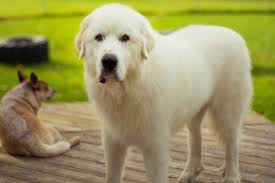 a great pyrenees is among the best farm dogs photography by shutterstock