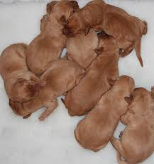 newborn chocolate lab puppies. Interesting Newborn Newborn Labrador Puppies Snuggle Together To Keep Warm When Their Mother Is  Away On Newborn Chocolate Lab Puppies O