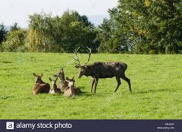Mature male european red deer
