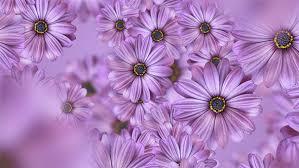 Purple Flowers Backgrounds Purple Daisy Flowers Background 4k