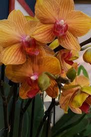 Allora cliccate sui titoli che vi interessano. Le Orchidee Viridea Orchidea Fioritura Fiori