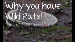 why you have wild rats in your garden gambian pouched rat