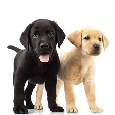 both yellow and black puppies can appear in a retriever litter