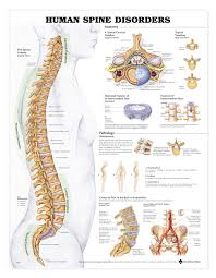 Vertebrae Number Chart Human Spine Disorders Anatomical Chart