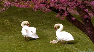 swans pair family wallpaper hd free