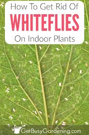 whiteflies are tiny white bugs on plants that will fly around when you disturb the plant