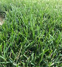 Complete Lawn Rookie Needs Helping Identifying Grass Type The Lawn