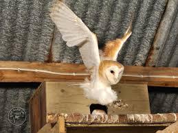 barn owl facts barn owl fledgling