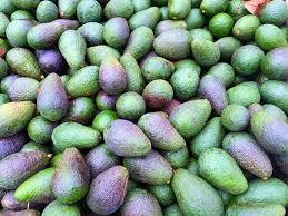 Image result for avocado farming