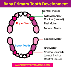 Baby Primary Permanent Tooth Eruption Chart