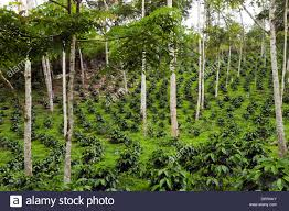shade grown coffee plantation. Plain Grown Coffee Bushes In A Shadegrown Organic Coffee Plantation On The Western  Slopes Of Throughout Shade Grown Plantation E