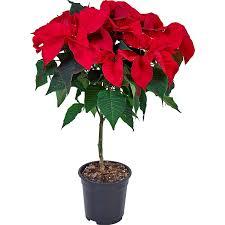 Weihnachtsstern Auf Stamm Topf ø Ca 17 Cm Euphorbia Pulcherrima