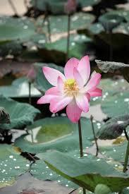free images water blossom dew leaf round flower petal wet fl green serene botany blooming floating pink sacred lotus aquatic plant