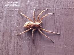 Light Brown Spider With White Spot On Back Spider Identification Comment Number 16