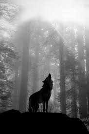 black and white wolf howling photography. Wonderful Howling Wolf In Forest  Maybe As An Oil Pastel This Is So Beautiful Inside Black And White Howling Photography D