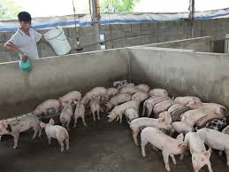 Pig Farming Business Plan Plan Needed To Rescue Vn Pig Farming Industry News Vietnamnet