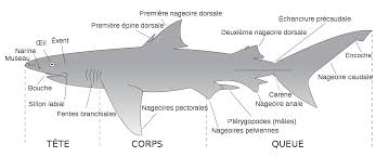 file parts of a shark fr svg  file parts of a shark fr svg
