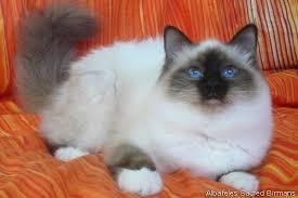 Sacred Cat Of Burma Colours Standard