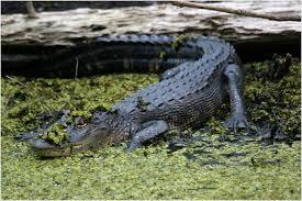 crocodile garage doors warm louisiana people of cajun country open door to visitors