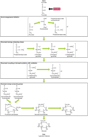 Carbohydrate Metabolism Chart Carbohydrate Metabolism Anatomy And Physiology Ii